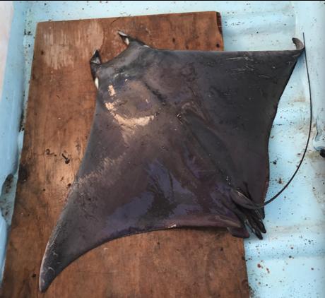 Munk's devil ray